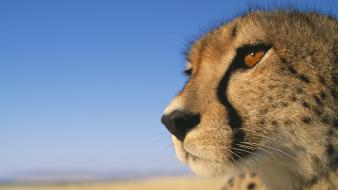 Close-up animals cheetahs africa kenya wallpaper