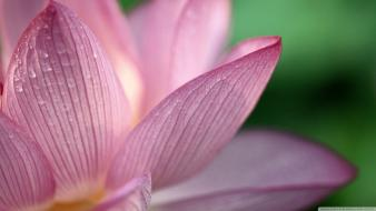 Flowers lotus flower wallpaper