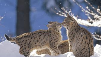 Landscapes germany animals lynx pair national park wallpaper