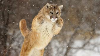 Snow animals cougars wallpaper