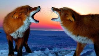 Sunset snow animals foxes Wallpaper