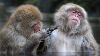 Water animals monkeys japanese macaque Wallpaper