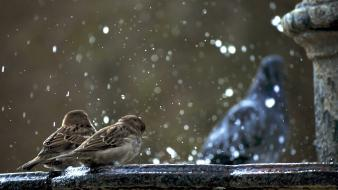 Animals fountains sparrow water drops birds wallpaper
