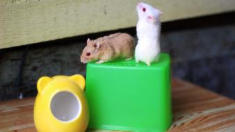 Animals hamsters red eyes albino wallpaper