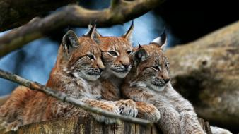 Animals lynx wallpaper