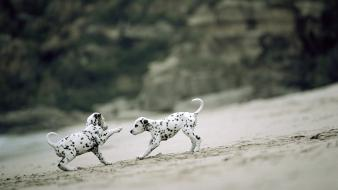 Beach animals dogs puppies dalmatians playing wallpaper