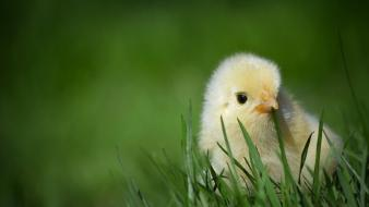 Chicks (chickens) baby birds wallpaper