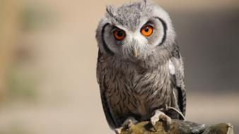 Germany animals wildlife owls wallpaper