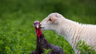 Nature animals sheep turkey wallpaper