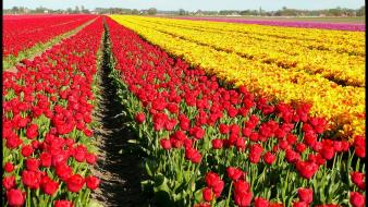 Nature flowers fields tulips wallpaper