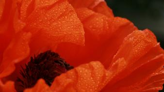 Nature flowers macro dew red poppies Wallpaper