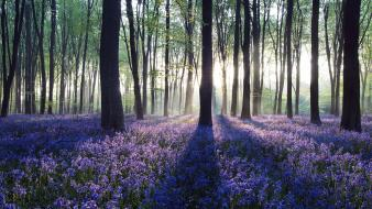 Sunlight united kingdom panorama blue flowers bluebells wallpaper