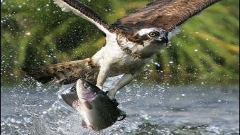 Animals fish osprey falcon bird hunting splashes birds wallpaper