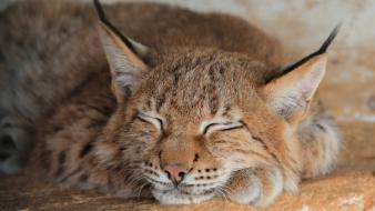 Animals lynx sleeping wallpaper