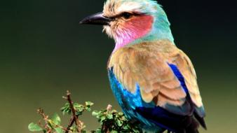 Birds lilac-breasted roller wallpaper