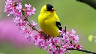 Birds pink flowers goldfinch wallpaper