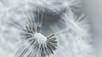 Black and white nature flowers dandelions Wallpaper