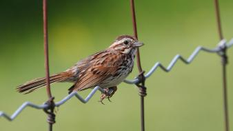 Close-up sparrow chain link fence birds Wallpaper