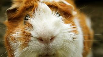 Guinea pigs pet wallpaper