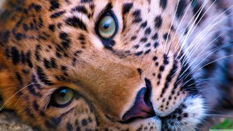Leopards Wallpaper