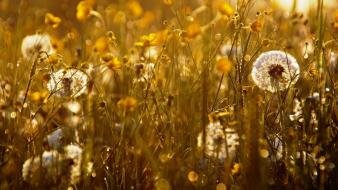 Light landscapes nature dandelions herbs wallpaper