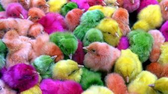 Multicolor birds chickens chicks (chickens) baby wallpaper
