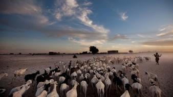 National geographic africa goats herds timbuktu (mali) wallpaper