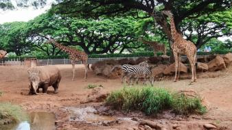Trees animals zebras rhinoceros giraffes wallpaper