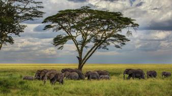 Trees elephants herds wallpaper