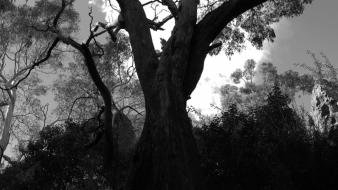 Trees forest grayscale album covers black metal cicadan wallpaper