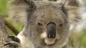 Animals brisbane koalas australia wallpaper