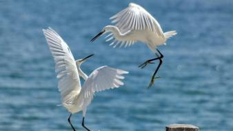Animals egrets birds wallpaper