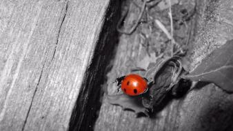Animals insects selective coloring ladybirds wallpaper