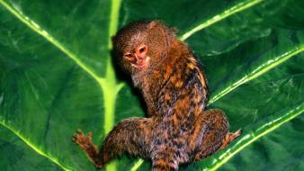 Animals leaves hanging marmosets wallpaper