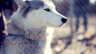 Animals malamute wolves wallpaper