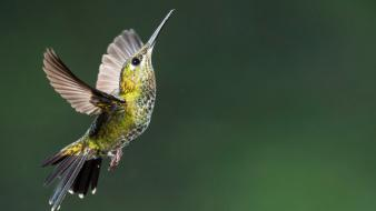 Birds hummingbirds Wallpaper