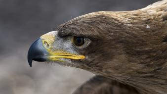 Close-up birds eagles bird of prey wallpaper