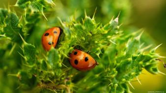 Insects ladybirds wallpaper