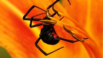 Insects spiders blackwidow Wallpaper
