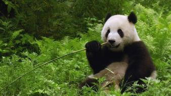 Jungle china panda bears dinner wallpaper