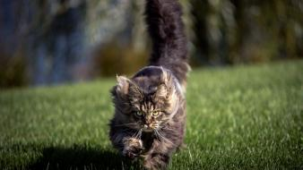 Nature cats animals running wallpaper