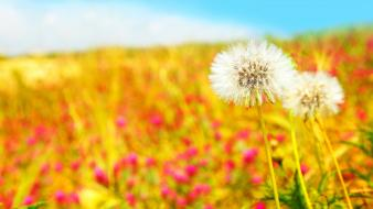 Nature flowers dandelions blurred background wallpaper