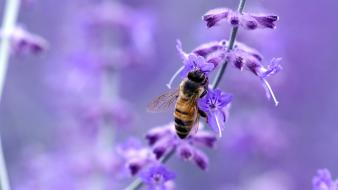 Nature flowers insects bees purple blurred background wallpaper