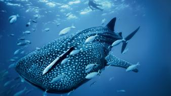 Ocean nature diver fish national geographic whales Wallpaper