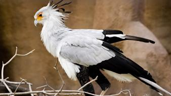 Secretary bird birds wallpaper
