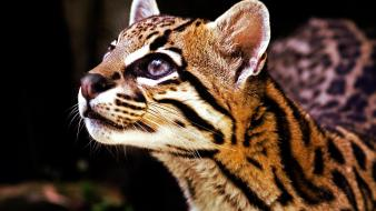 Animals ocelots wallpaper