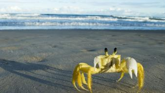 Beach brazil crustacean crabs wallpaper