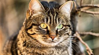 Cats animals yellow eyes wallpaper