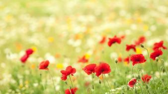Flowers red poppies wallpaper