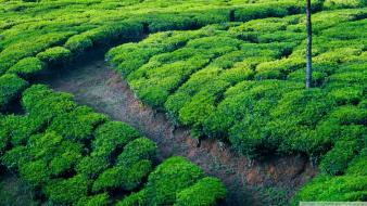 Green landscapes nature tea wallpaper